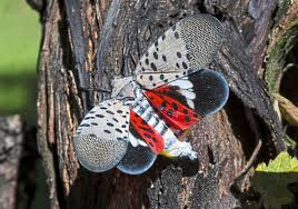 How you can snuff out the pretty, deadly spotted lanternfly | Pittsburgh  Post-Gazette